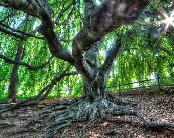 Cape Cod Photography Weeping Beech Tree, Yarmouth Port, MA