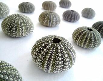 Dark Green Sea Urchin Shells. 10 Urchins