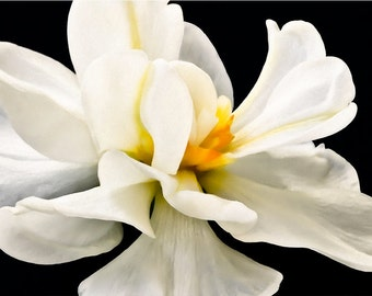 White Daffodil twirling, black background,  fine art flower photography, nature photograph, wall art print wall decor
