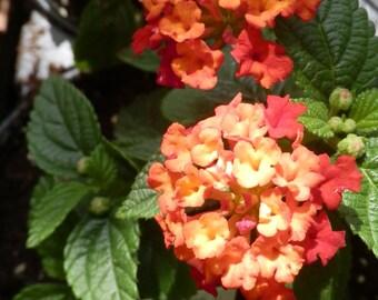 Dallas Red Lantana Blooming Starter Plant