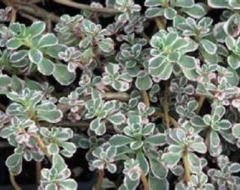 Tricolor Sedum Succulent Groundcover Starter Plant