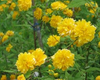 Art Photography, Nature Photo, Yellow Rose Shrub,  Instant Download, Photo Art, Digital Art, Photo of Roses, Quality Print 8 x 10