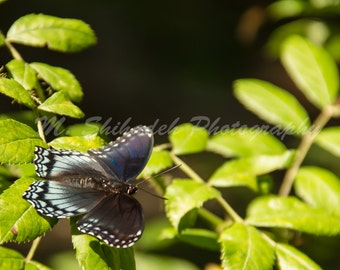 Red-Spotted Purple Butterly on a Tree - Fine Art Nature Photography Print