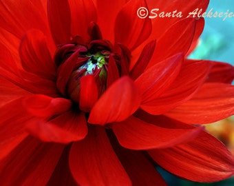 Red Flower - Fine Art Photography - Digital photography download, instant download, Wall decor, flower photography, Red Flower Photo