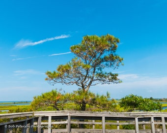 Assateague Island tree