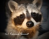 Malakai's Sweet Face:  Rescued raccoon waking up in sanctuary