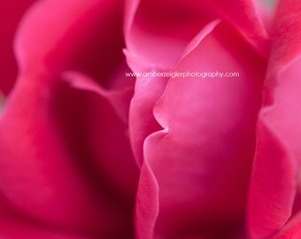 Square Macro photo of a blooming pink rose, 10x10 12x12