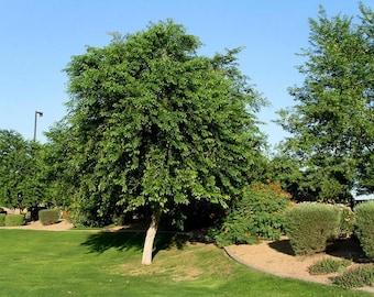 50 Seeds  Dalbergia sissoo, Indian rosewood, Shisham .Bombay blackwood, Indian rosewood, sisso, sissoo