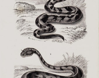1849  SNAKE Antique VIPER print.  venomous pit viper species, Crotalus, American rattlesnake, Saharan horned viper