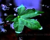 Pond Leaf
