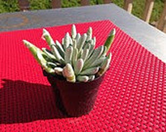 Medium Succulent Plant Medium Silver Coral