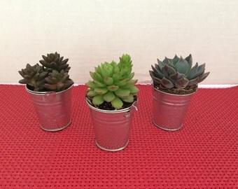Succulent Plants. Assortment of 16 Gorgeous Echeveria Succulents with Miniature Galvanized Pails.