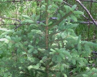 Blue Spruce 3'