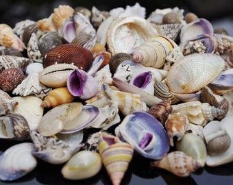 Beach Mixed Small  SeaShells 100g Mix Shells Craft SeaShells, 1 - 4 cm