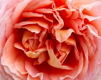 Rose - flower, petals, peach, pink, white, macro, close up, photography, wall art