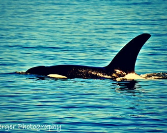 Orcas Island Whales