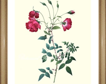 "Rose Print #18.  Flower print. Roses Print. Rose Picture. 8x10"" 11x14"""