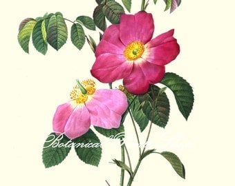 "Rose Print No13. Antique rose print. Flower Prints. Floral Art. Botanical Prints. 8x10"" 11x14"""