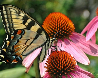 Monarch on Coneflowers