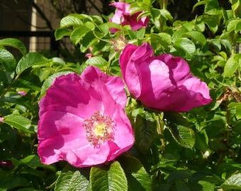 3 Wild Pink Roses bush ~Woodland ~Native