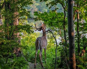 Nature Photography, Deer art, 8x10, 13x19, 5x7, 8.5x11, Fantasy Buck