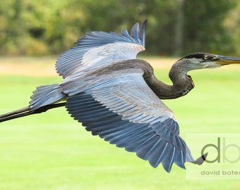 """Nature Photography, North American Birds, """"Great Blue Heron"""" color Art Print"""
