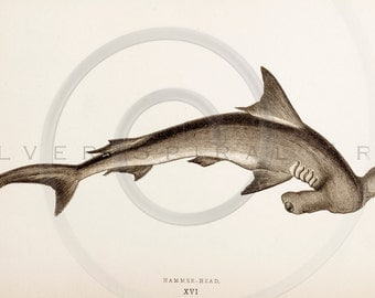 Vintage Hammerhead Shark Printable Illustration 1800s Antique Sharks Print Digital Image Clip Art Retro Drawing Instant Download Graphic ZS