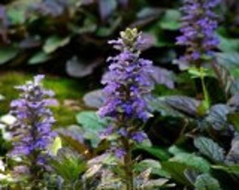 Ajuga Flower Seeds / Perennial  30+