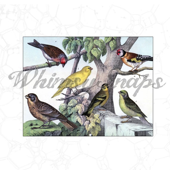 Group of Colorful Birds Vintage Illustration DIGITAL IMAGE Download ... Group Of Colorful Birds