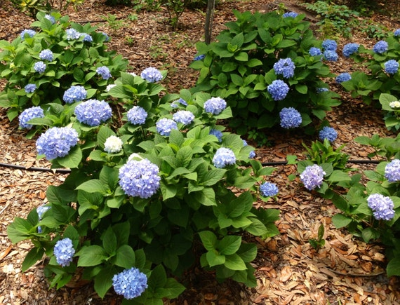 hydrangea endless summer hydrangea endless summer reblooms pink or by 28837