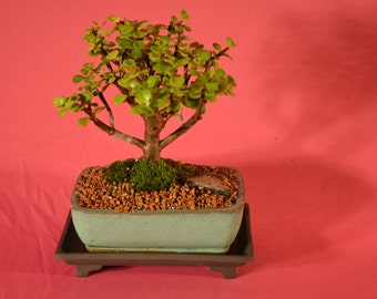 Indoor Bonsai, Mini Jade
