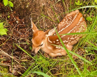 New Born, Tiny Fawn, Nature's Beauty, Woodland Animal, Baby Deer in Forest, Photograph or Greeting Card