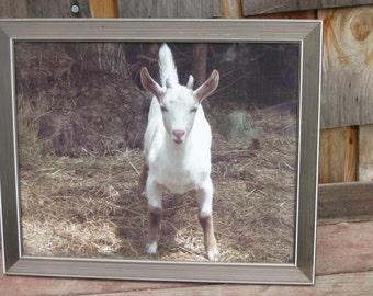 framed Zeus goat photo