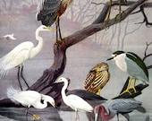American Bittern, Eastern Green Heron, Glossy Ibis, American Egret, Great Blue Heron - 1959 Vintage Bird Book Page