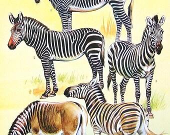 Zebras - 1973 Vintage Encyclopedia Print Book Page