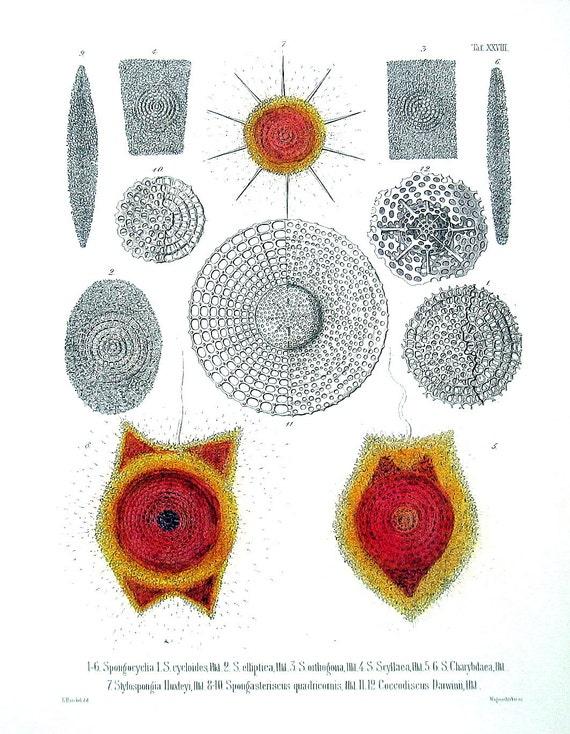 Ocean Animals - Radiolarians - Vinatge Ernst Haeckel Print