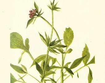 Flower Print - Valerian - Vintage Wild Flowers Print - Botanical Print - Wild Flowers of America - Twinflower - Borealis - Mary V Walcott
