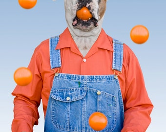 Oranges, large original photograph of white boxer dog wearing overalls and holding an orange in his mouth while juggling