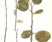 Pussy Willow, Goat, Sallow, Vintage Tree Print, Botanical Book Plate 31, Deciduous Hardwood, Nature, Landscape, Frameable Art, 1977, Raymond