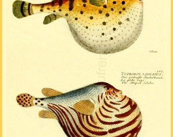 antique french illustration pufferfishes DIGITAL DOWNLOAD