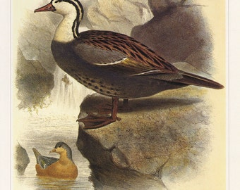 Duck Bird Art Print Book Plate SALE Buy 3, get 1 FREE