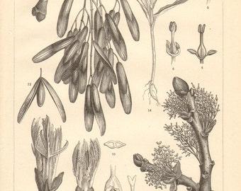 1890 Leaves, Flowers and Seeds of the European Ash Antique Engraving
