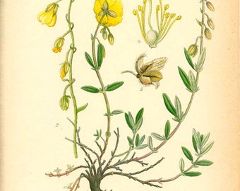 Common Rock-rose - Antique 1905 Botanical book plate  229