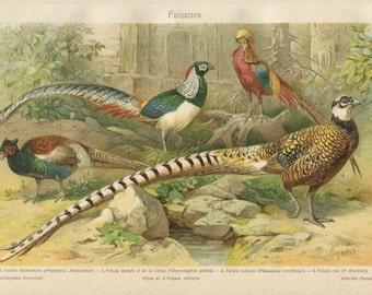 Pheasants Vintage Print, Birds Illustration, Color Lithograph 1920s, Birds Art