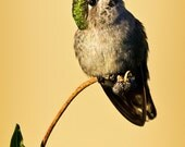 fine art photography, portrait of a hummingbird, female Anna Hummingbird, humming bird, green feathers, leaves, pale yellow