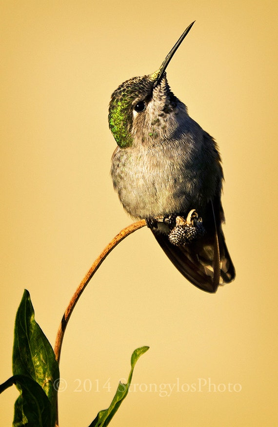 fine art photography, portrait of a hummingbird, female Anna Hummingbird, humming bird, green feathers, leaves, pale yellow