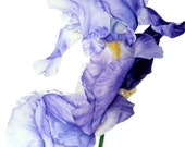 Iris II - fine art - large archival botanical print, 11 x 16 or 13 x 19in, watercolor print