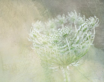 Queen Ann s lace pastel 8 X 12 photography limited edition, light beige green, bright photo, optimistic wall art, nature photo shabby dreamy
