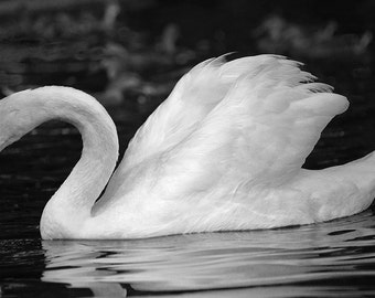 swan photography, 4x6, 8x12, 12x18 swan art, swan decor, swan print, pond photography, pond art, pond decor, pond print