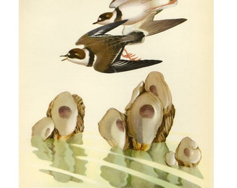 CLEARANCE Vintage Plover by Athos Menaboni Bird Book Plate SALE